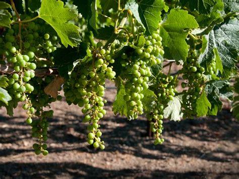 fruit vines fruit vines to grow at home boldsky