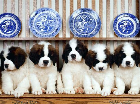 puppy bernard st bernard puppies jan 01 2013 05 25 58 picture gallery
