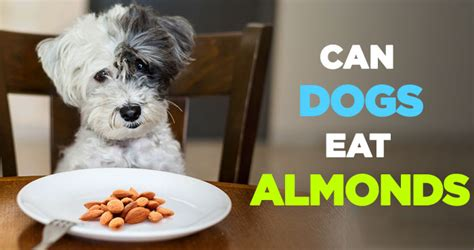 almonds and dogs can dogs eat almonds and can dogs eat almond butter everyday