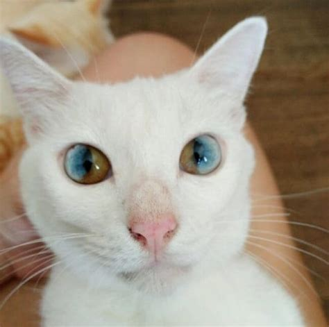 with two different color amazing cat with two different colors in each eye