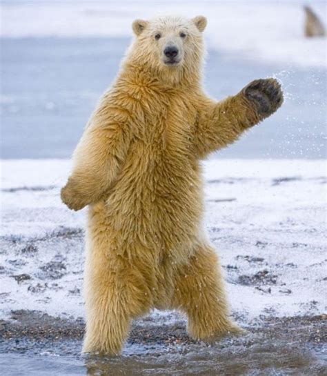 Dancing Polar Bear Meme - dancing polar bear 5 pics amazing creatures