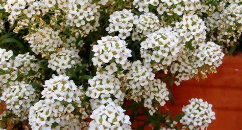 fiore alisso alisso alyssum maritima alyssum maritima piante
