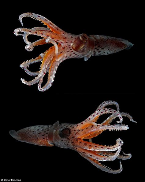 cockeyed squid has lopsided eyes to see in the dark daily mail online
