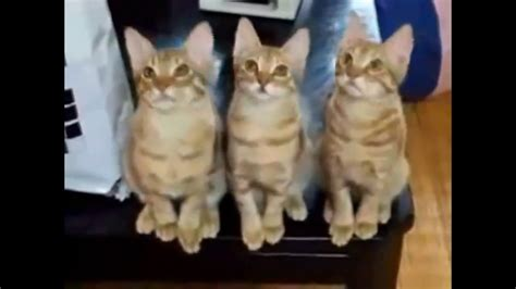 Funniest cats in the world   YouTube