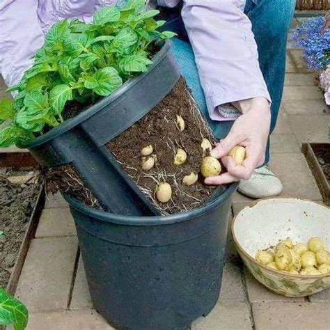 container potato gardening potatoes in a container