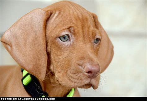 vizsla puppies california 17 best images about the i want quot vizsla quot someday on quails i want and