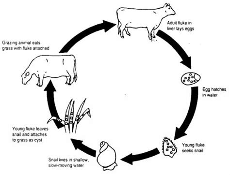 Diagram Of Tapeworm Liver Fluke Earthworm Hydra With Labelling 10092557 Meritnation Liver Fluke Pest Insects And Other Invertebrates Pests Diseases And Weeds Agriculture