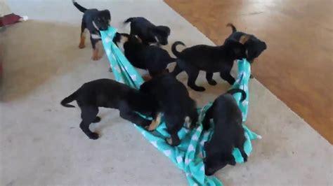german sheprador puppies for sale german sheprador puppies for sale breeds picture