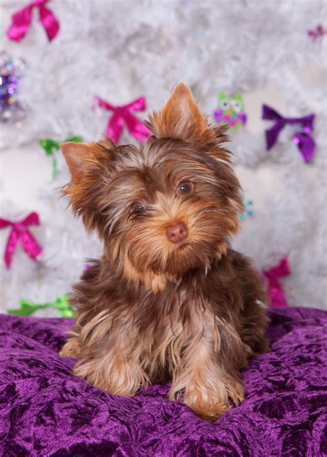 chocolate yorkie poo puppies for sale 1000 ideas about yorkie poo puppies on yorkie puppies for sale and