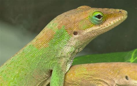 color changing lizard new study on color change in green anoles anole annals