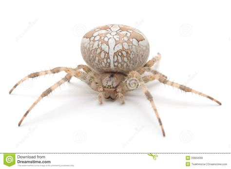 white house spider house spider royalty free stock images image 33664599