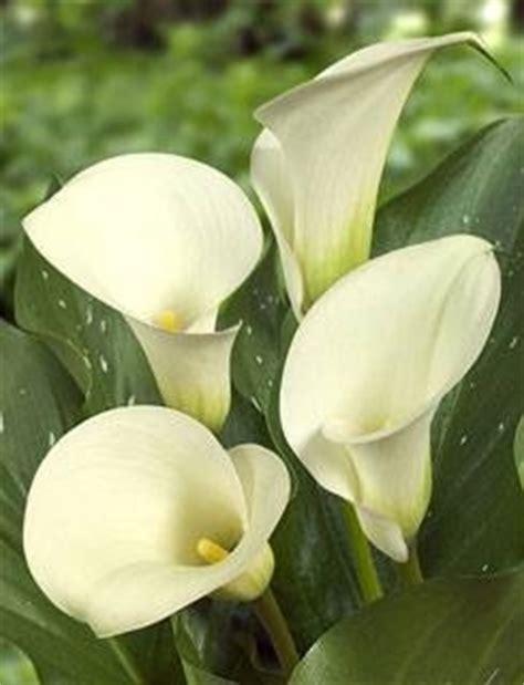 significato fiori calla fiori calla fiori delle piante significato calla