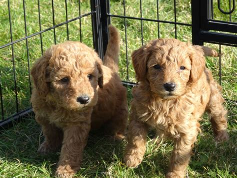 puppy labradoodles for sale in uk f1b labradoodle puppies for sale sevenoaks kent