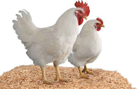 keren  gambar ayam betina hitam putih sugriwa