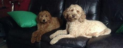 adoption portland oregon poodle rescue portland oregon photo