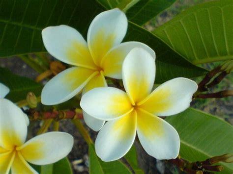 plomeria la central frangipani colorido 193 rbol de oto 241 o