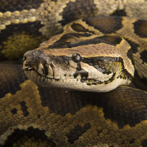 python image burmese python national geographic