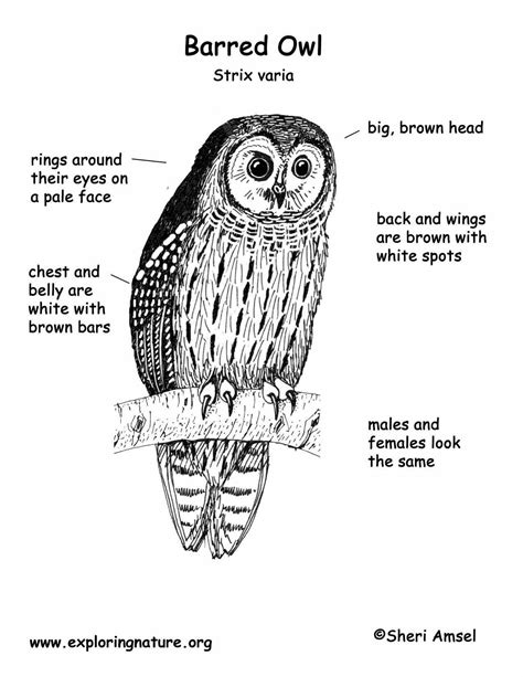 Owl (Barred)