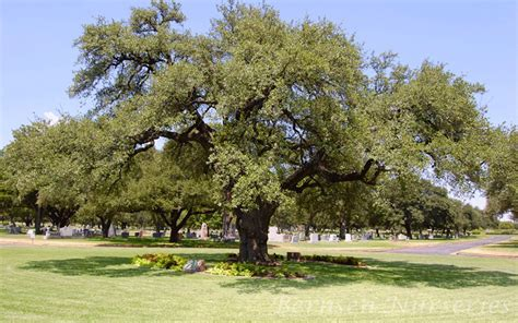 live tree sales live oak tree naples