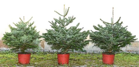 christmas trees at bawtry forest doncaster yorkshire and