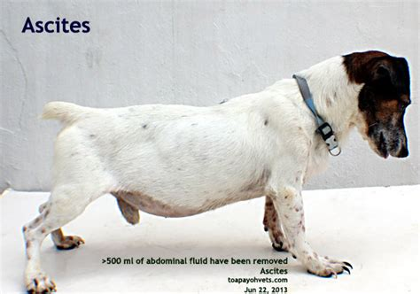 ascites in dogs veterinary medicine surgery singapore toa payoh vets dogs cats rabbits guinea