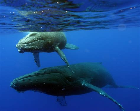 Search In Hawaii Search Continues For Entangled Whale In Hawaii 183 Guardian Liberty Voice