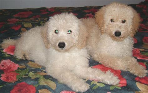 white labradoodle puppies pictures of labradoodle puppies