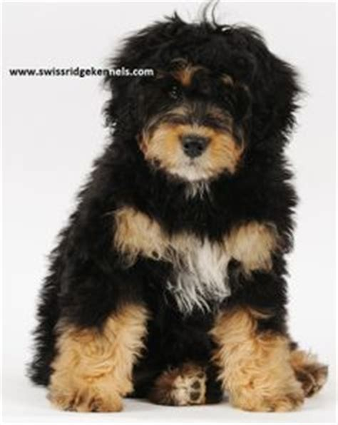 bernedoodle puppies for sale in michigan image gallery mini bernedoodle
