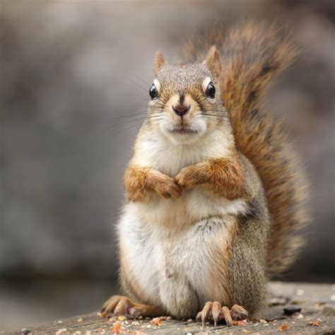 squirrel images the squirrel huffpost