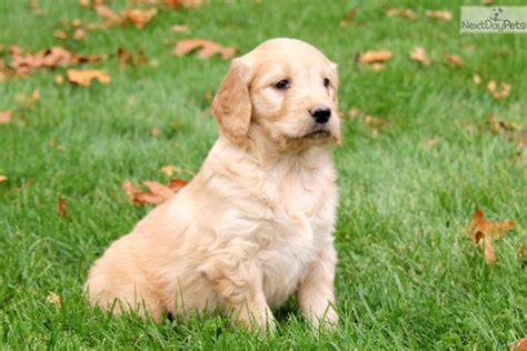 goldendoodle puppies near me goldendoodle puppy for sale near lancaster pennsylvania 0c1efbd4 1601