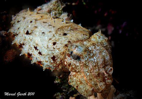 teppich krokodilfisch www gierth name jules und marcels taucherseite marsa