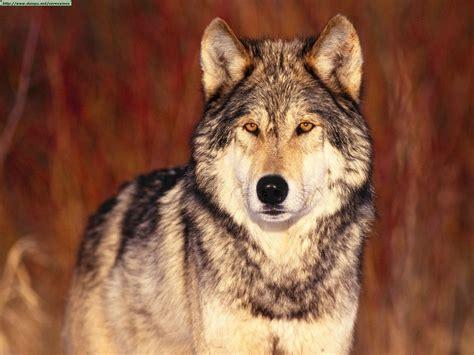 imagenes sorprendentes de lobos lobosmexico im 225 genes de lobos