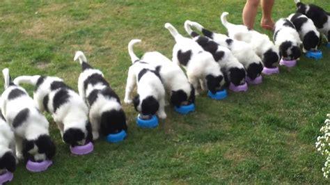 landseer puppies landseer puppies