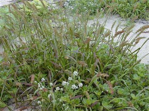 sand spurs what herbicide kills sand spurs
