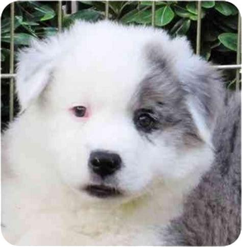 australian shepherd puppies san diego oscar adopted puppy san diego ca australian shepherd chow chow mix