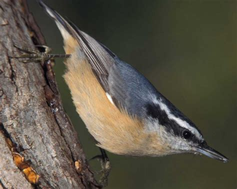 red breasted nuthatch audubon field guide