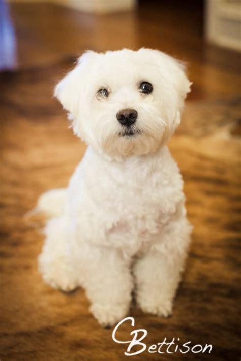 what is the best cut for a malti poo 8 best maltese haircuts images on pinterest maltese