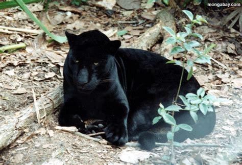 What Eats A Jaguar In The Rainforest Room 42 Rainforest Animal