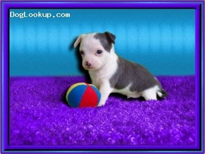 yorkie puppies for sale fayetteville nc teacup puppies for sale fayetteville nc breeds picture