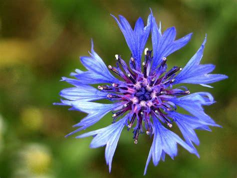 fiore fiordaliso antico egitto terra di fiori e profumi caf 233 des arts