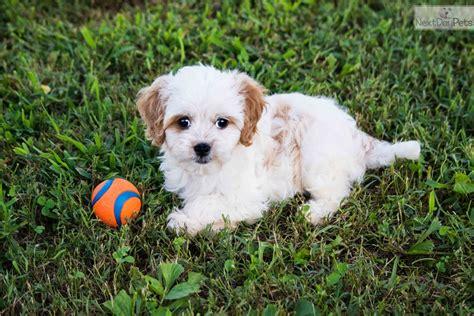 cavapoo puppies for sale in illinois cavapoo puppy for sale near southern illinois illinois 52f94cc1 1b91