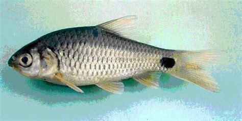 Anakan Ikan Arwana Banjar pembelajaran histologi ikan benter