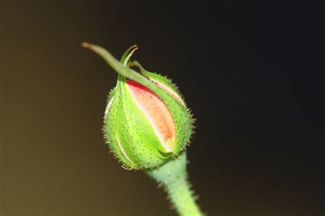 file rose bud 2010 jpg wikimedia commons