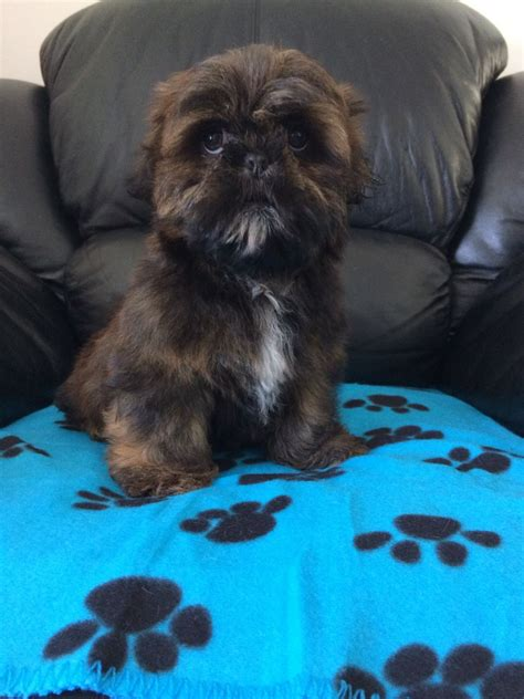 shih tzu brindle karashishi shih tzu one brindle boy left liverpool merseyside pets4homes