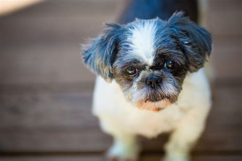 shih tzu eye discharge diagnosing eye problems in your pet petmeds 174 pet health