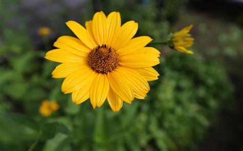 imagenes hermosas girasoles im 225 genes de hermosas flores para san valent 237 n fotos e