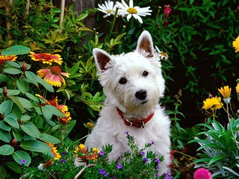 west highland white terrier puppies west highland white terrier breed pictures information temperament