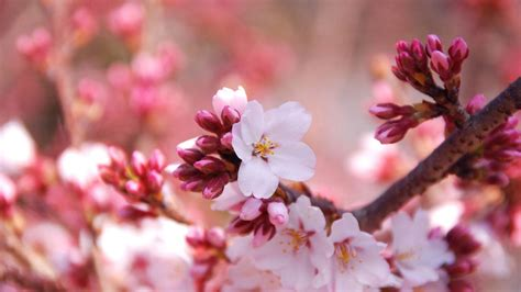 cherry blossom pictures cherry blossom desktop wallpapers wallpaper cave