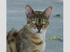 Bengal kittens for sale in kentucky | Bengal Kittens Kittens For Sale