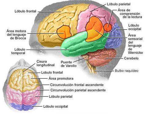 imagenes visuales para el cerebro funciones de las partes del cerebro youbioit com